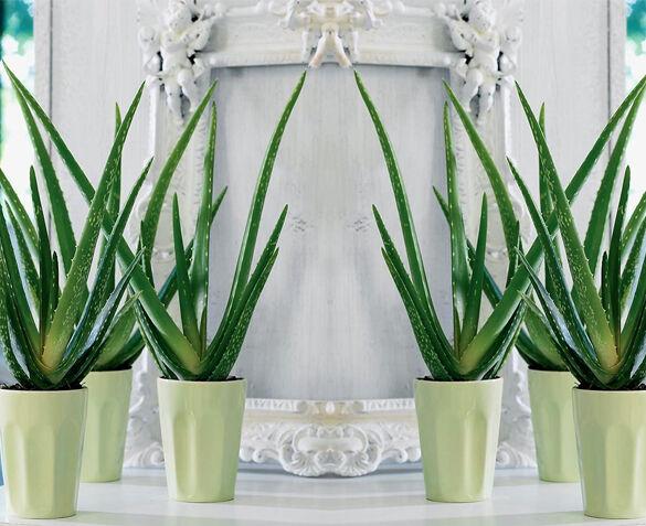 Aloe Vera Planten