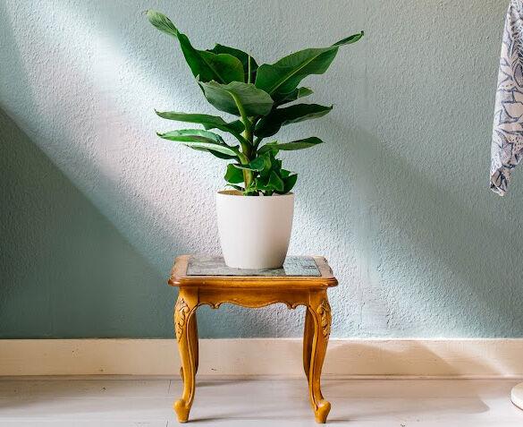 Bananenplant