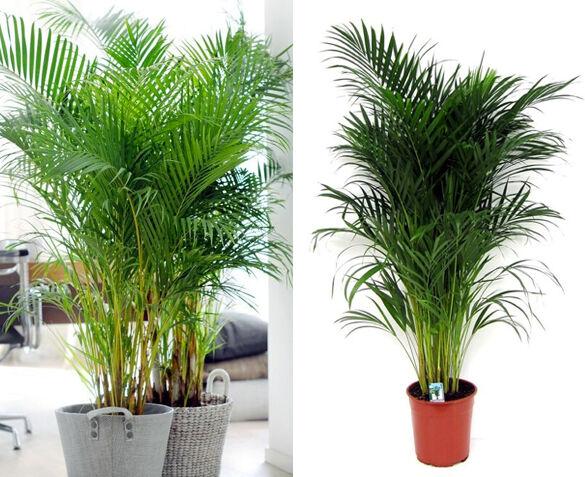 Grote Areca Palm