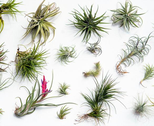 Set van 6 of 12 Tillandsia Luchtplanten
